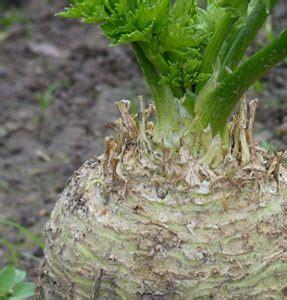 coltivazione sedano coltivare il sedano rapa