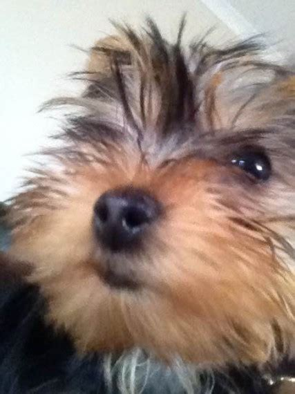 small yorkies for sale uk small yorkie for sale coulsdon surrey pets4homes