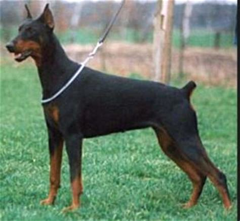 rottweiler with pointy ears ukmix view topic bruno mars
