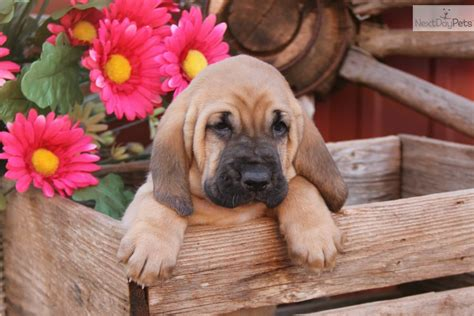 bloodhound puppies for free bloodhound puppy for sale near oklahoma city oklahoma e4ba4be2 1fb1