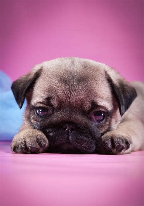 pug boy names the 25 best pug names ideas on pug puppies pugs and pugs