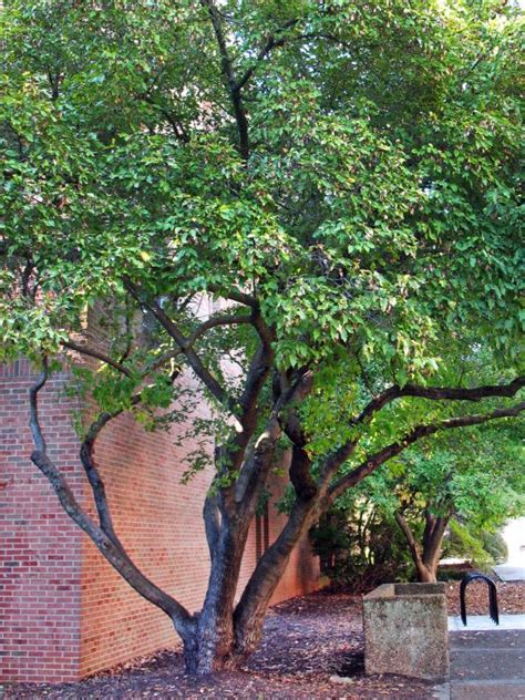 Trees For Patio by Landscaping Goofs Hgtv