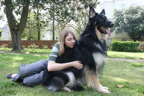 german shepherd size shiloh shepherd info puppies breeders temperament pictures
