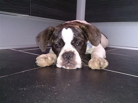 frengle puppies frengle bulldog x beagle mix info temperament puppies pictures