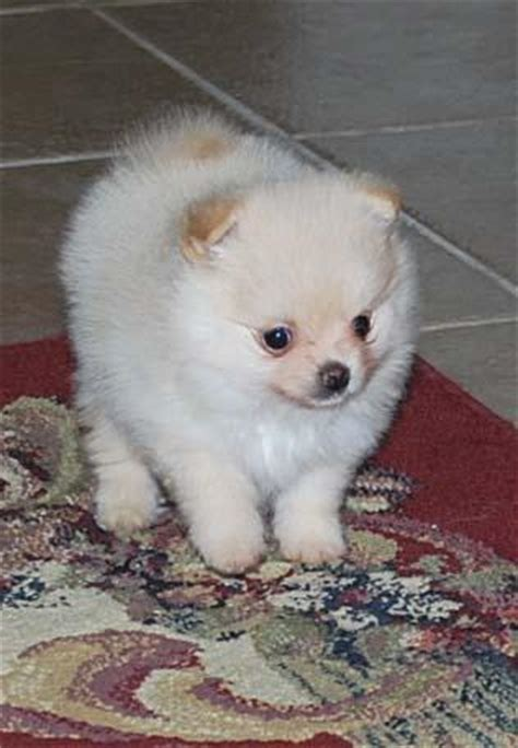 pomeranian michigan pomeranian husky mix for sale in mn pomsky picture breeds picture