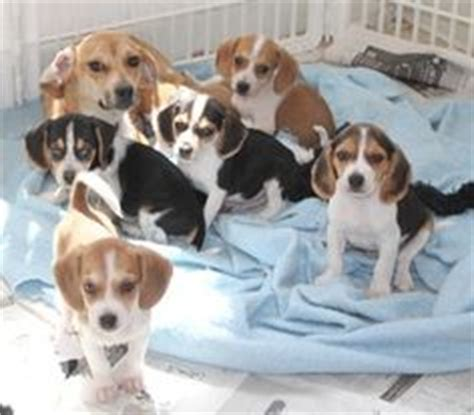 bench beagle 1000 images about cuteness on pinterest english