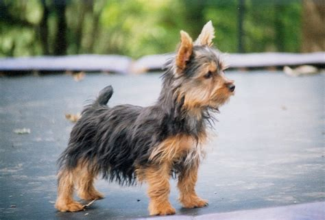 silky terrier puppies silky terrier puppies www pixshark images galleries with a bite