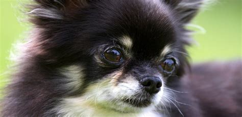 chihuahua puppies rescue adopt a chihuahua find dogs for adoption breeds picture