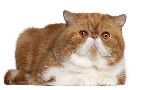 cat breed the shorthair cat cat breeds encyclopedia
