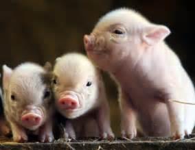pot bellied pig pet biology111s22011 worrall