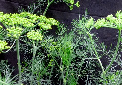 dill fernleaf   southern exposure seed exchange