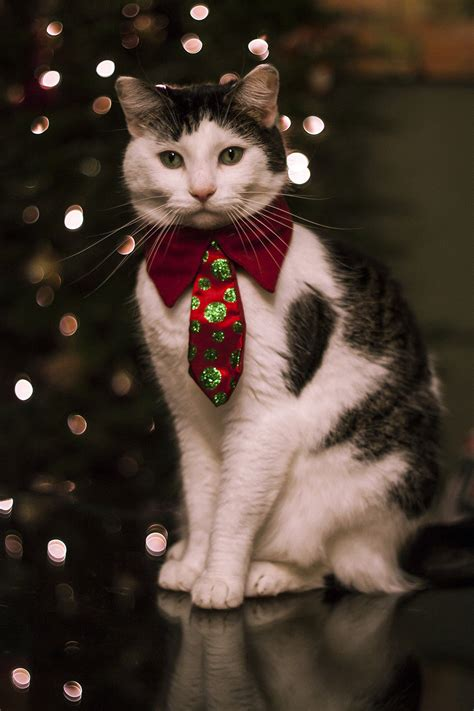 christmas cat pictures   images  facebook tumblr pinterest  twitter