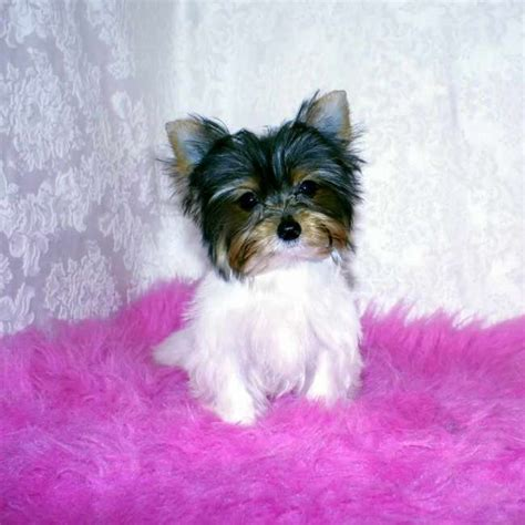 parti colored yorkies for sale get teacup parti yorkie carry yorkies for sale