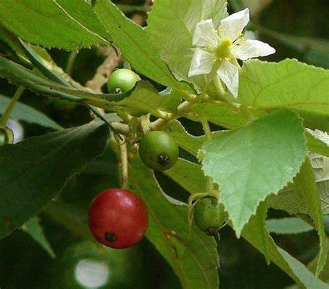Daun Talok Segar manfaat daun dan buah seri ceri kersen talok tips
