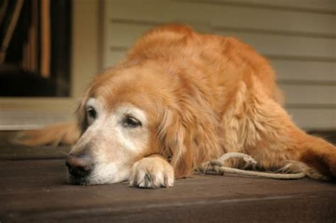 best food for senior golden retriever best food for large breeds american kennel club