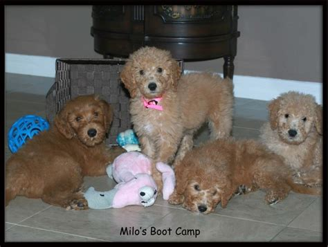 goldendoodle puppies florida goldendoodles goldendoodle pictures goldendoodles florida breeds picture