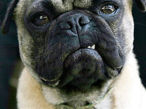pug aggression preventing aggression in dogs 3milliondogs
