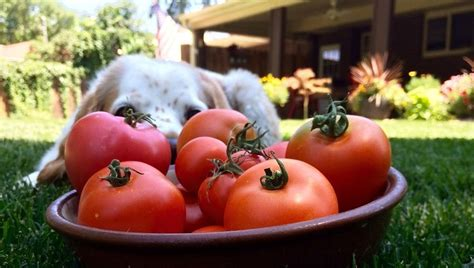 are tomatoes bad for dogs can dogs eat tomatoes dogtime