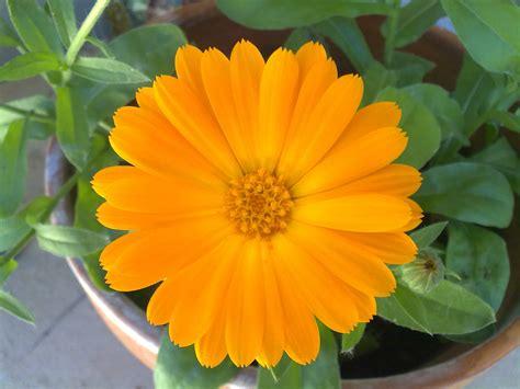 imagenes de flores ornamentales flores ornamentales anica s blog