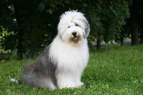 types of sheep dogs sheepdog breed large petmania