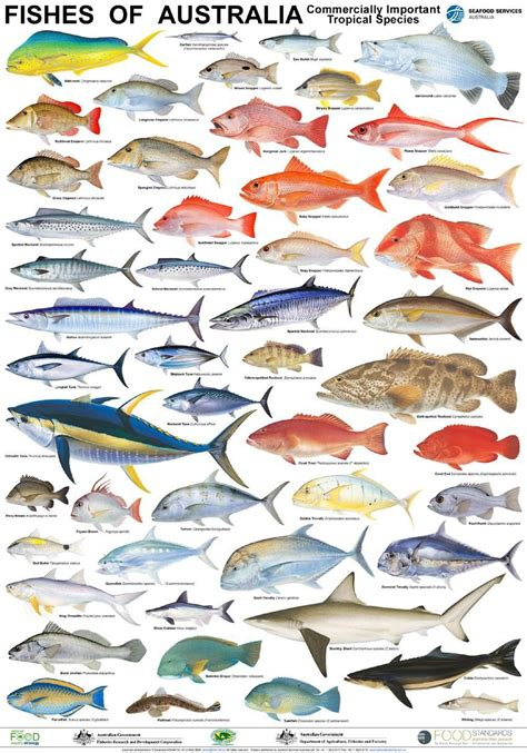 australian fish poster fisherman tackle pinterest fish
