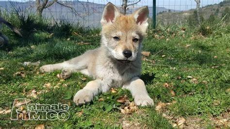 regalo cane lupo cecoslovacco vendita cucciolo lupo cecoslovacco da privato a cosenza