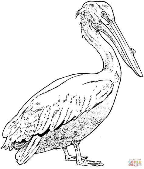 coloring pages of real birds realistic pelican super coloring coloring pages
