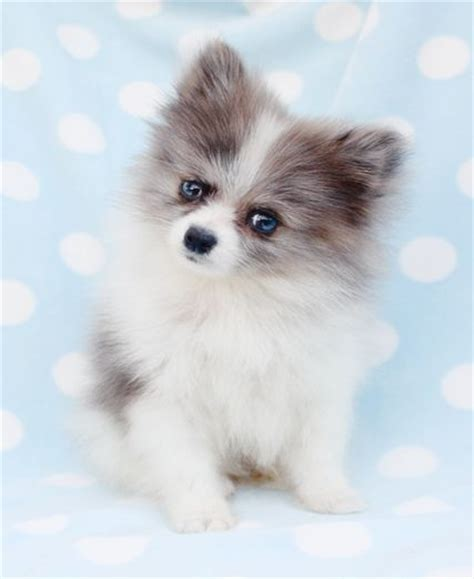 teacup pomeranian husky teacup pomeranian looks like a pomsky balto teacups teacup