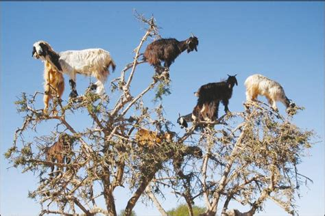 Tree Timer - these tree climbing goats disperse seeds by spitting