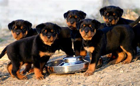 rottweiler puppy photos rottweiler all big breeds