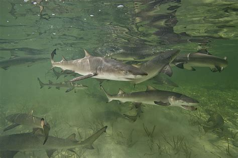 baby shark natal mother lemon sharks home to their birthplace to give