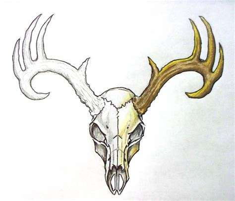 skull clipart mule deer pencil and in color skull