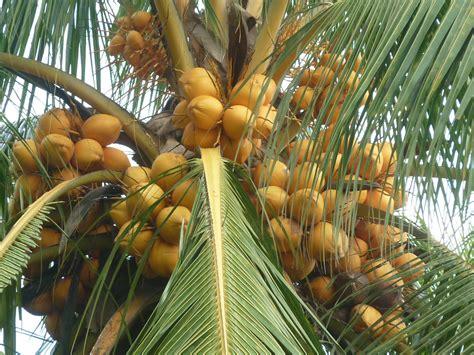 jual bibit kelapa hibrida jual bibit tanaman unggul