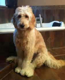 goldendoodle grooming puppy cut day family doodles goldendoodle faq s photos dogs 2