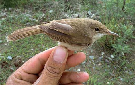population of large billed reed warbler little known bird