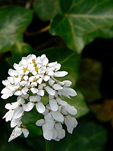 pianta con fiori a grappolo viola fiori a grappolo gpsreviewspot