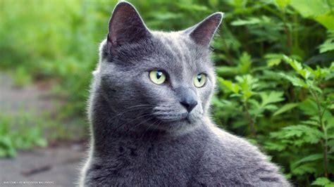 grey cat in nature 1920x1080   russian blue cat hd