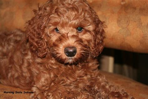 Labradoodle Puppy Application Form Vancouver Labradoodle