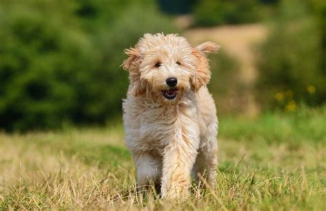 mini goldendoodle traits goldendoodle personality history and pictures pawculture