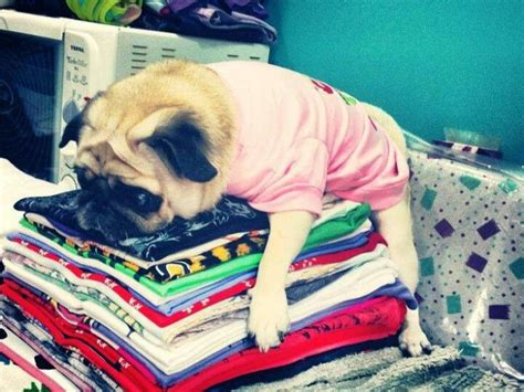 loca the special pug 298 best puggy pug pugs images on