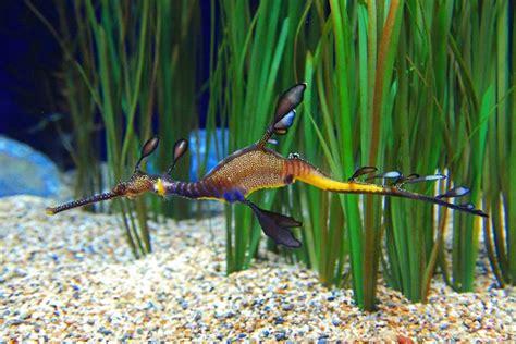 weedy sea dragon phyllopteryx taeniolatus seahorse