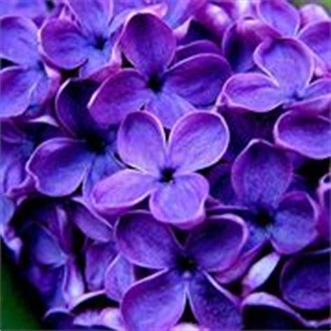 fiore viola nome nomi di fiori viola significato fiori nomi di fiori
