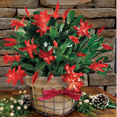 17 best images about a christmas cactus propagation and