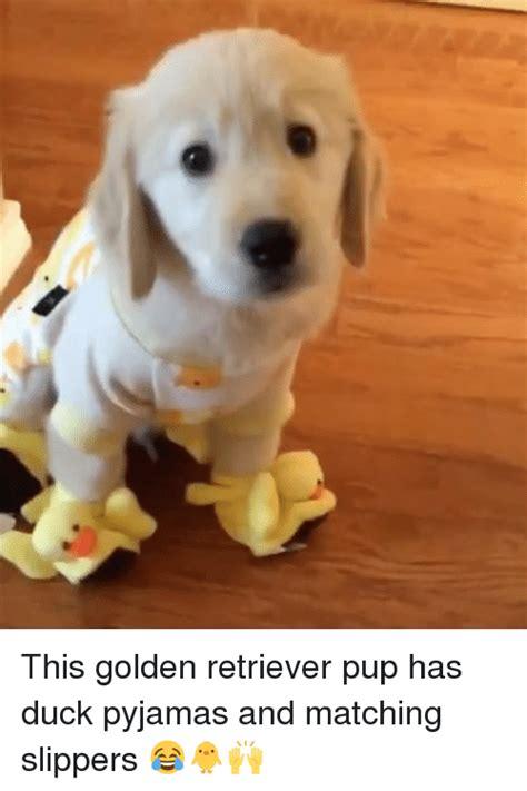 golden retriever slippers 25 best memes about pup pup memes