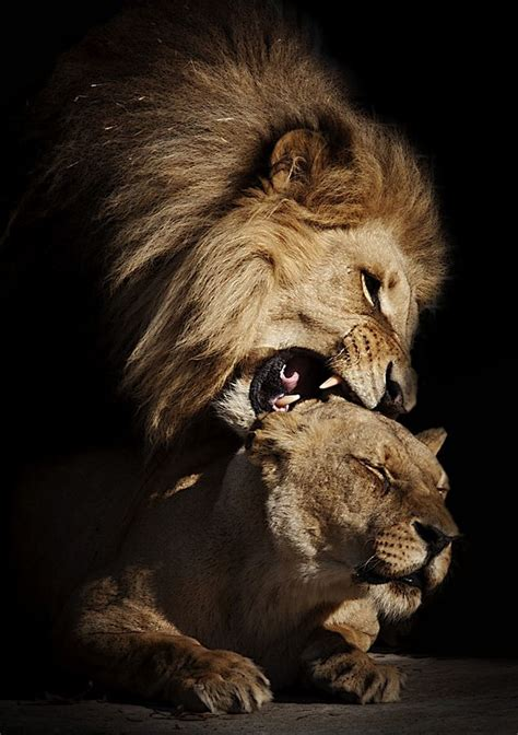 kxipofficial our lions here is the list of our retained lion couple cute pinterest