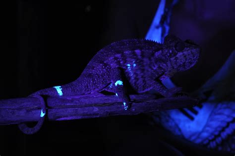 uv light for snakes investigating forest reptiles unconventional