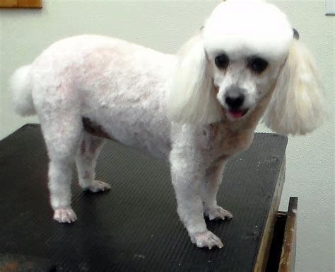 haircutsfordogs poodlemix hairstyles for poodle mixes strange poodle cuts shih tzu