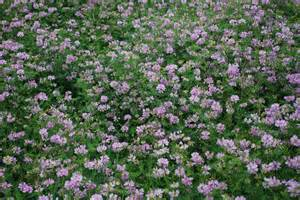 Backyard Composting Planting Crown Vetch Learn How To Use Crown Vetch For A