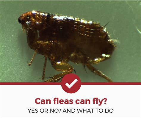 can bed bugs fly can bed bugs fly 28 images flies facts identification
