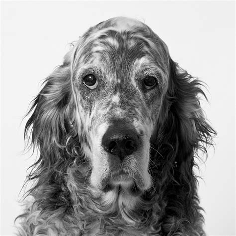 english setter dog collar 69 best english setter puppies images on pinterest